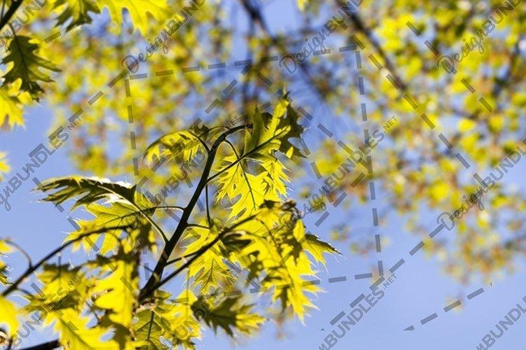 fresh oak leaves example image 1