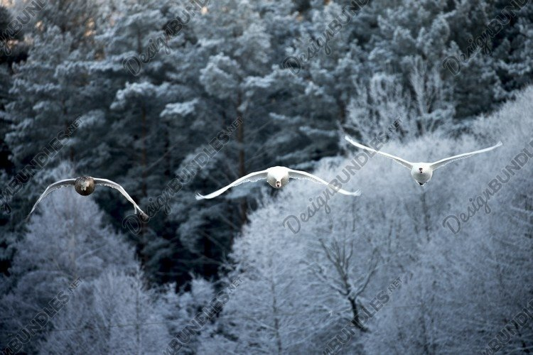 Flying swan. White swan. Nature winter forest background. example image 1