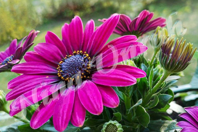 Violet dimorphotheca ecklonis,Osteospermum Cape Daisy Purple example image 1