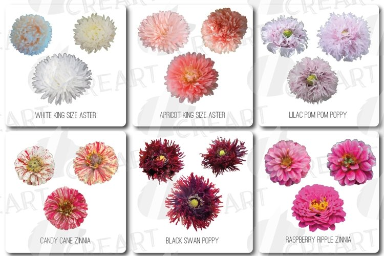 Watercolor aster, poppy, zinnia decoration and card design. example image 1