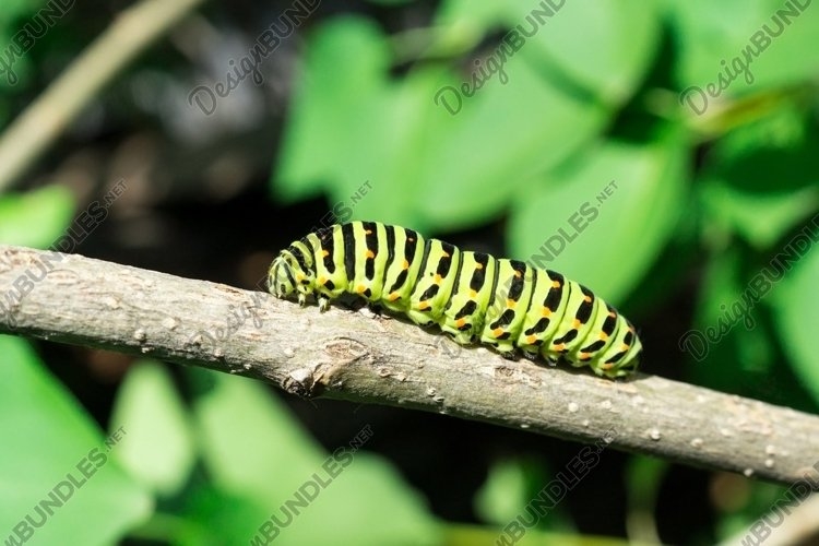 Green caterpillar on lilac leaf example image 1