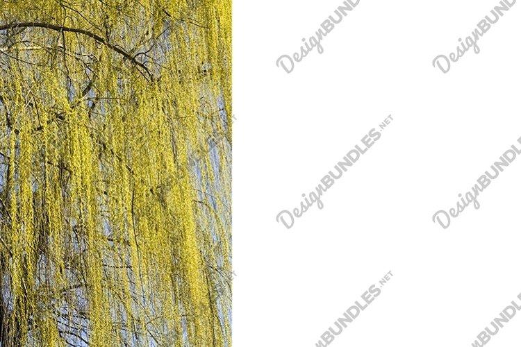 beautiful willow tree example image 1