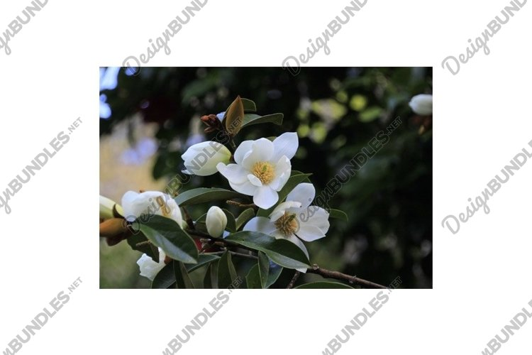 Photo of the Flower of Fairy Magnolia White example image 1
