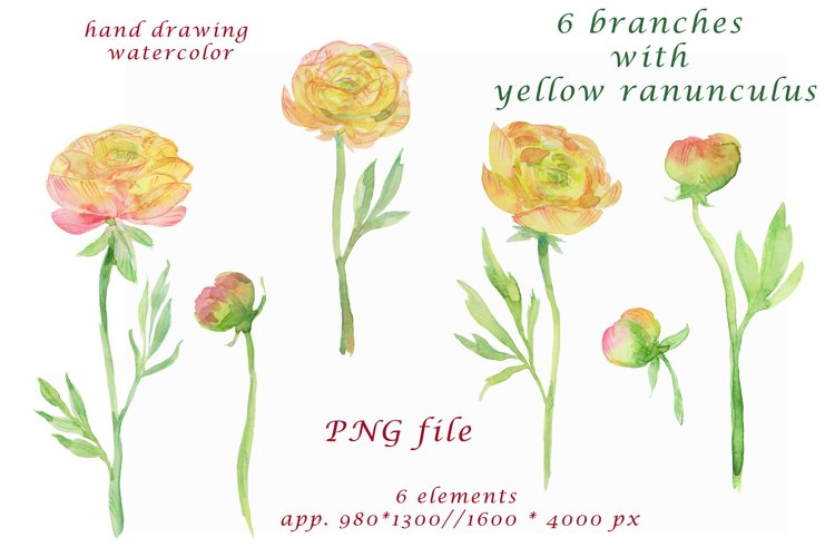 watercolor hand painted yellow ranunculus Clipart example image 1