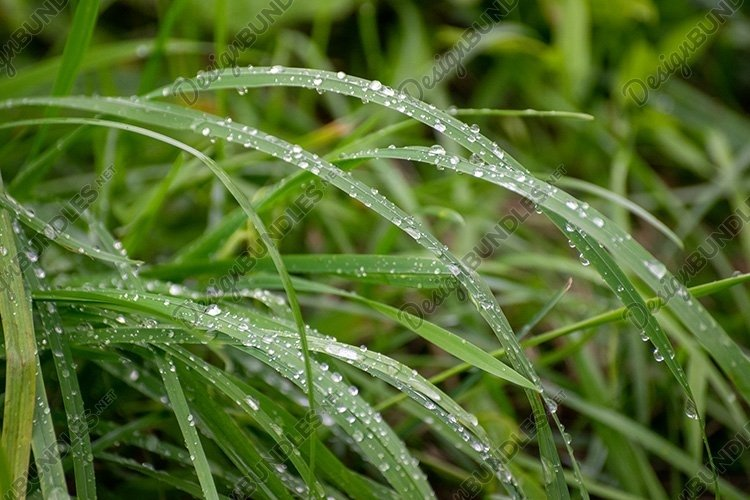 Stock Photo - Wet grass with water drops after rain example image 1