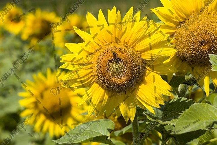 field annual sunflowers example image 1