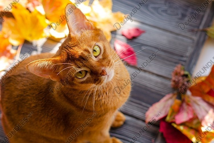 Cat orange color sitting on wooden table with autumn leaves.