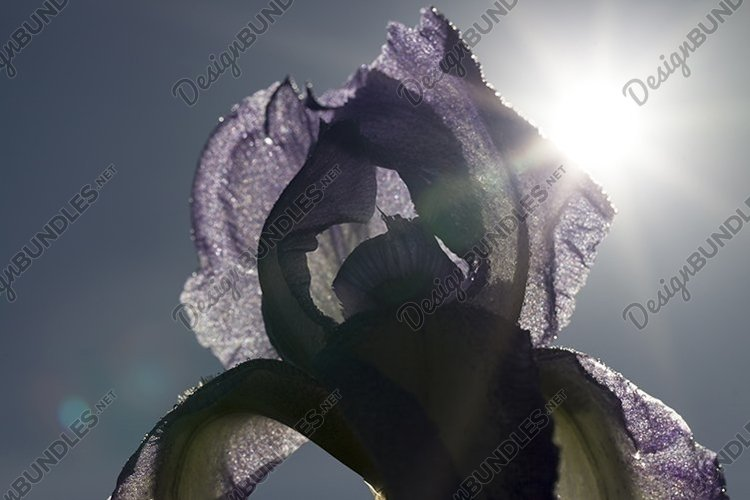 blue purple iris flower example image 1