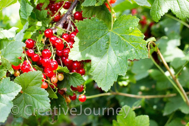 Red currant in garden. example image 1