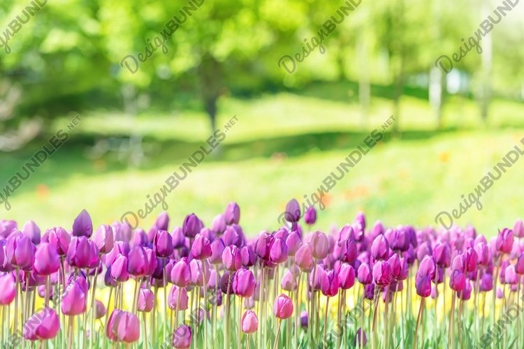 Beautiful tulips 9 photos. Bundle #3 example image 1
