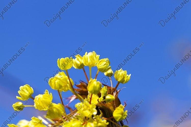 beautiful maple tree example image 1
