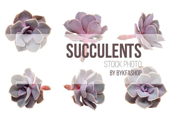 Echeveria Succulents isolated on white background example image 1