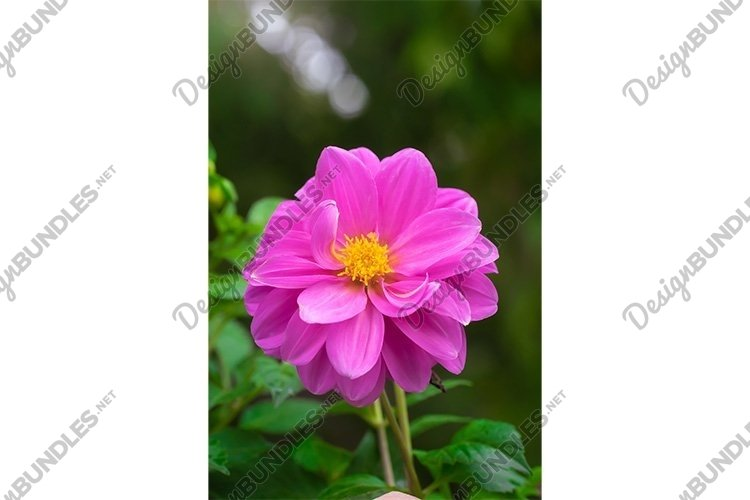 Stock Photo - Red Zinnia flowering in late summer example image 1