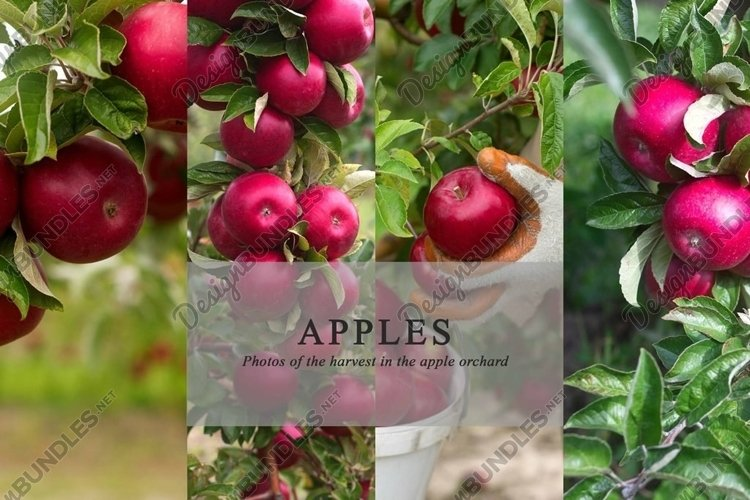 Apples and harvesting in an apple orchard, 10 photos example image 1