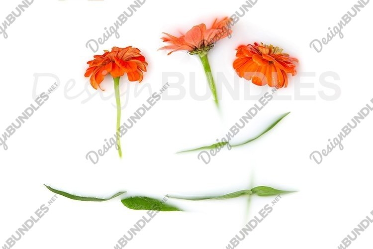 Gerberas in a milk bath.The concept of purity and tenderness example image 1