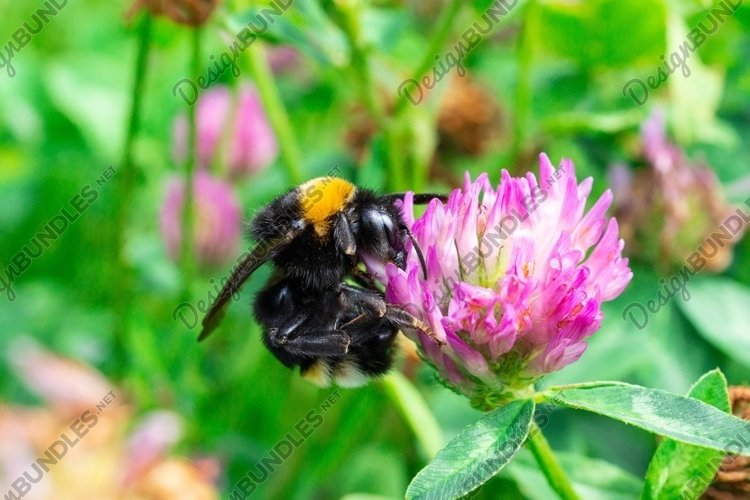 bumblebee on a clover example image 1