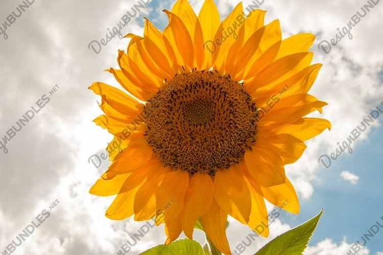 Sunflower on the background of the sunny sky with clouds example image 1