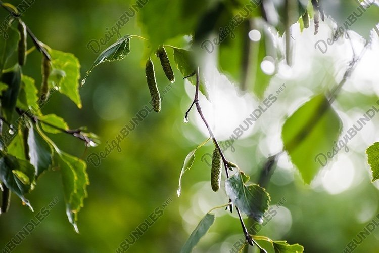 Stock Photo - Wet birch leaves with water drops after rain. example image 1