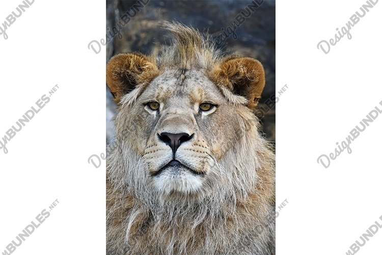 Close up Portrait of African Lion example image 1