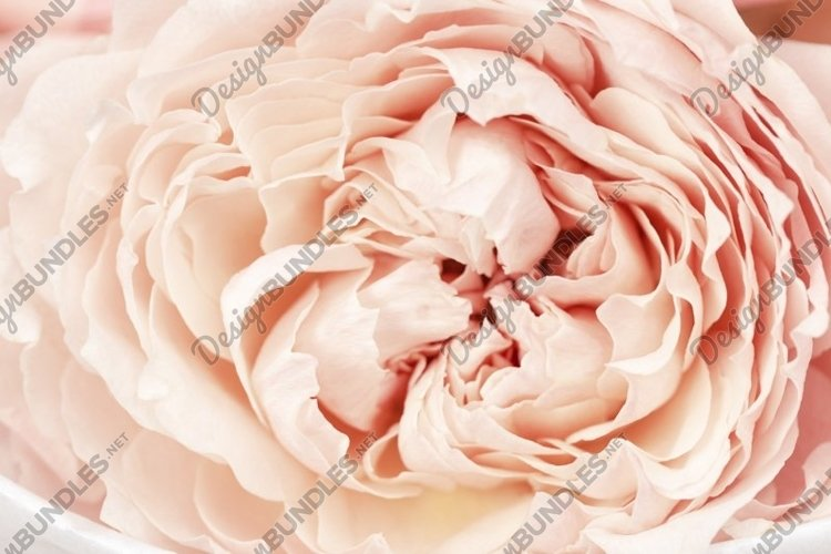 Petals of peony roses flower, pink color, natural background example image 1