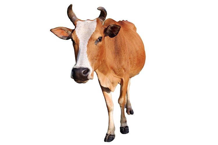Cow with white background example image 1