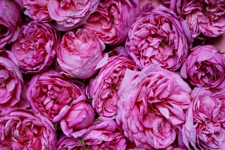 The texture of the flowers. Pink roses close-up.
