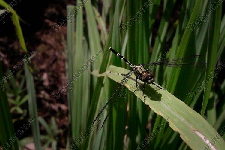 Dragonfly on top a thatch leaf