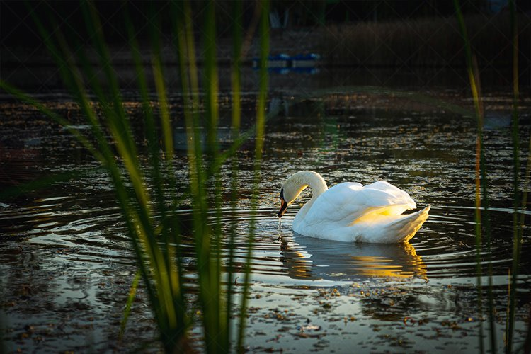 Swan - Morning Routine on the Lake