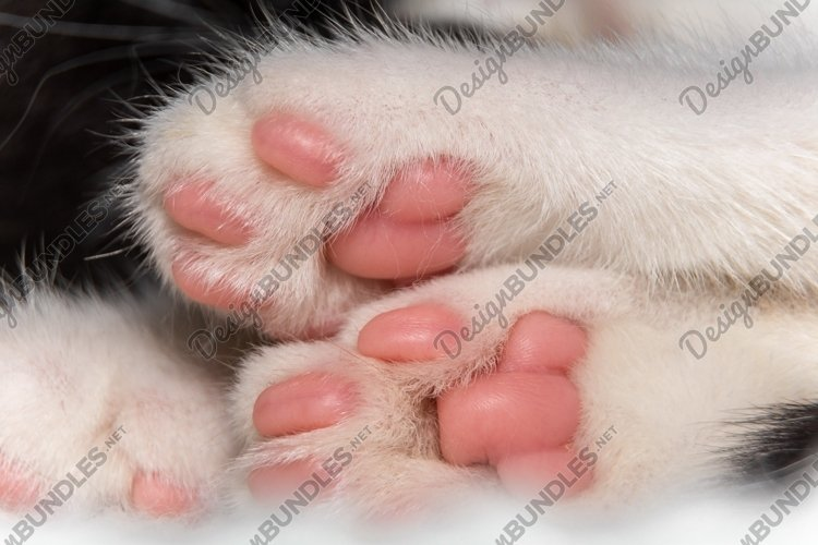 White paws of a cute domestic cat example image 1