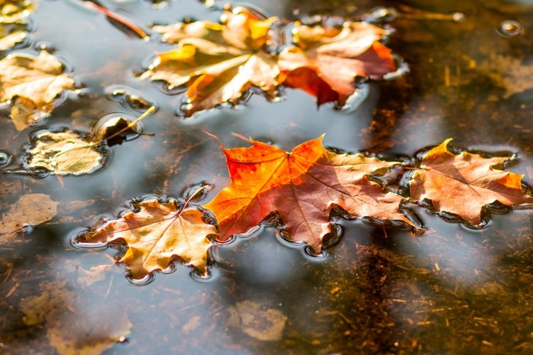 maple leaves in water example image 1