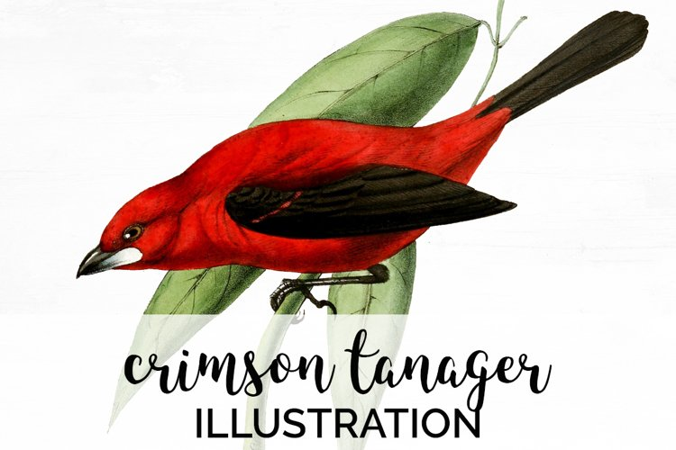Bird Clipart Tanager example image 1