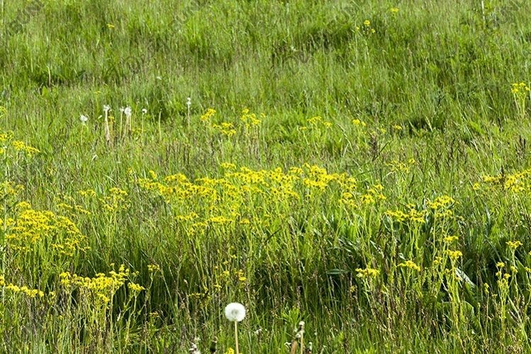 pasture with grass and dandelions example image 1