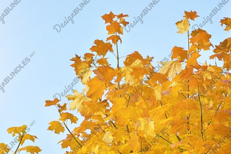 Maple branches with yellow leaves on a blue sky background example image 1