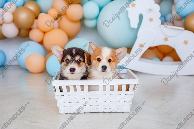 Corgi puppies sitting in a basket example image 1