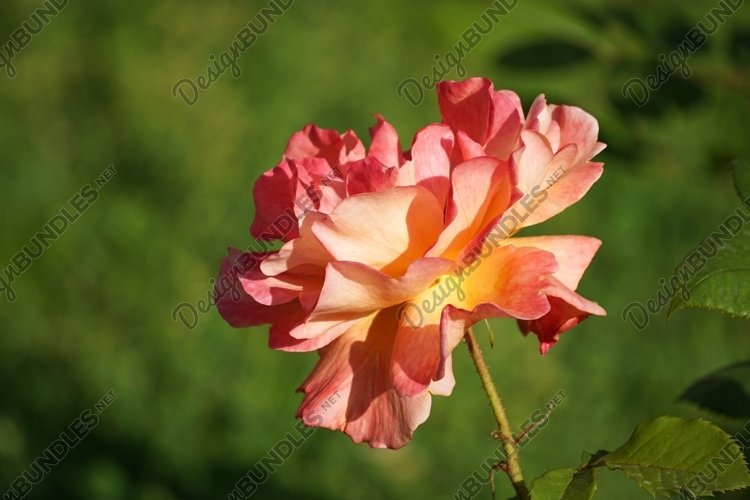 Flower lush orange rose on a blurred green background. example image 1