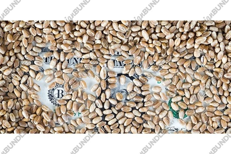 lies under a large amount of a heap of wheat grain o example image 1