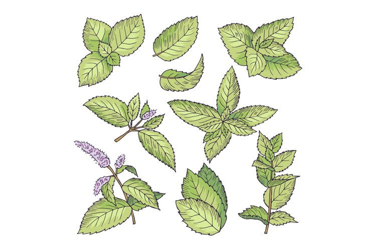 Different vector colored illustrations of herbal mint. Hand example image 1