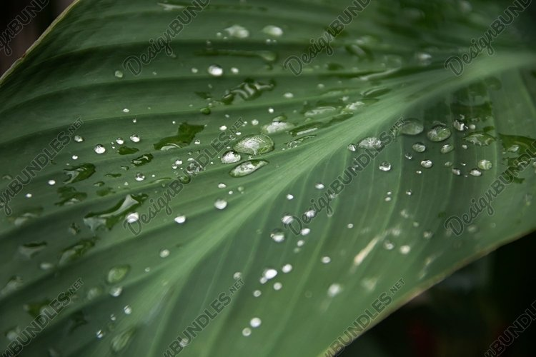 Transparent rain water on a green leaf of a plant. 2pcs example image 1