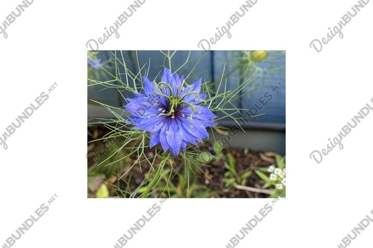 Photo of the Flower of Nigella Damascena Love-In-A-Mist example image 1