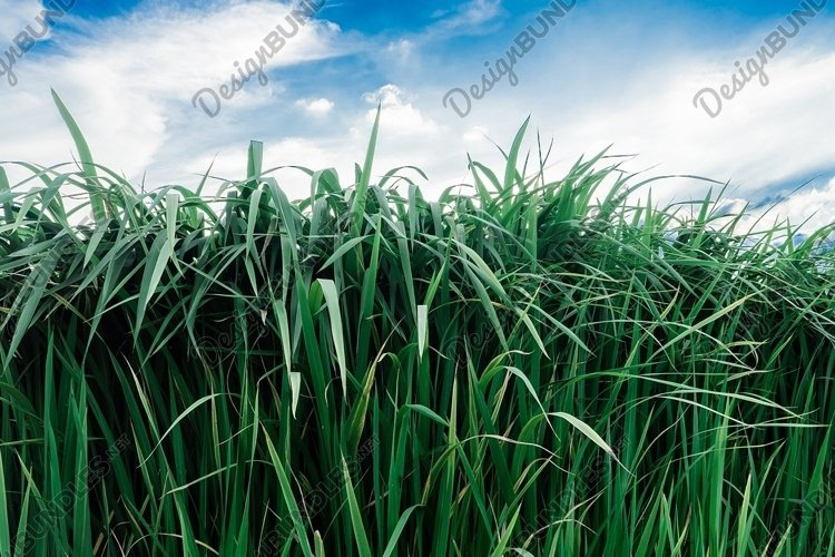 summer landscape with fresh green tall grass example image 1