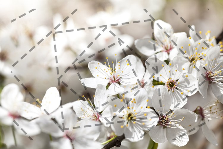 cherry blossoms, close-up example image 1