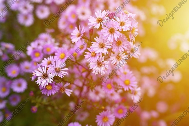pink autumn flowers Aster novi-belgii in full bloom. flare example image 1
