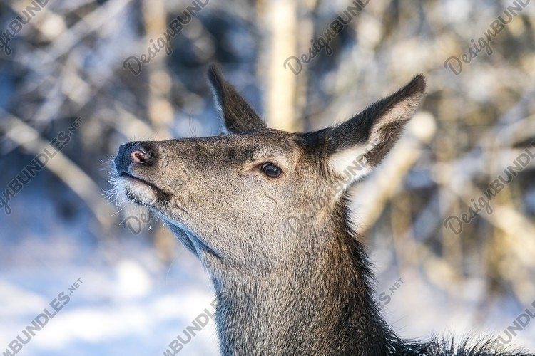 Graceful Adult Female Red Deer On A Snow Hill example image 1