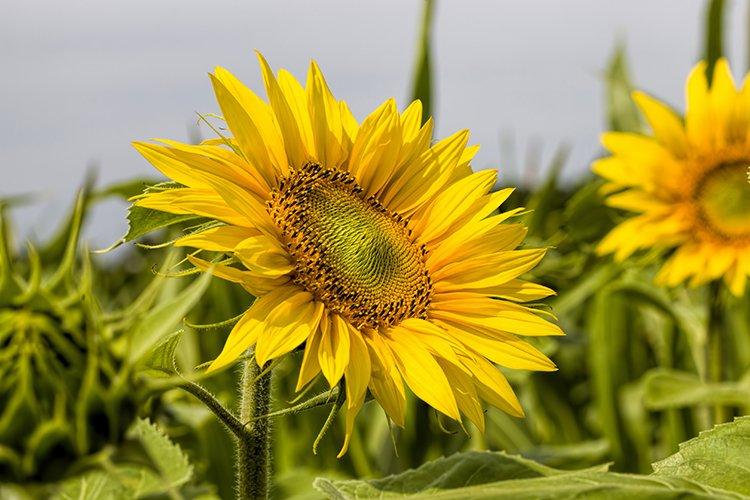 field annual sunflowers