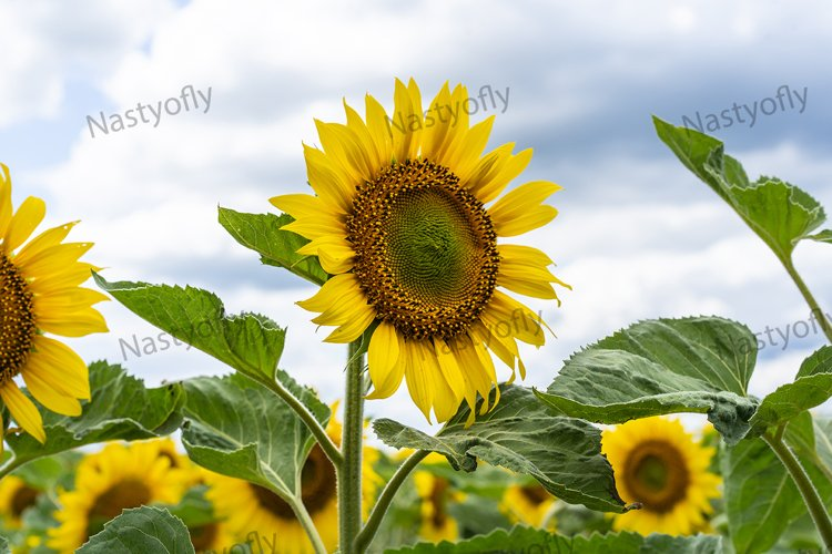 Sunflower field, agriculture, harvest concept.