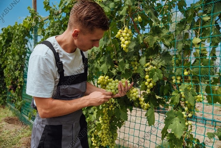 Young man is checking the growing grapes before harvesting example image 1