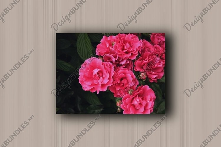 Blooming wild rose pink flowers
