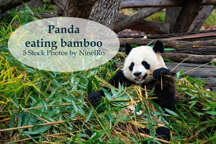 Cute Panda Eating Bamboo - set of 5 stock photos