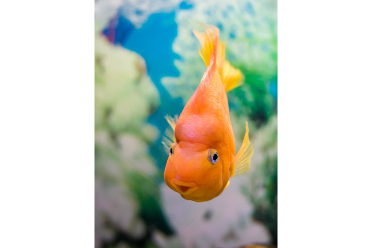 Red Parrot Cichlid in the water in an aquarium example image 1