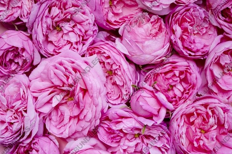 The texture of the flowers. Pink roses close-up. Postcard
